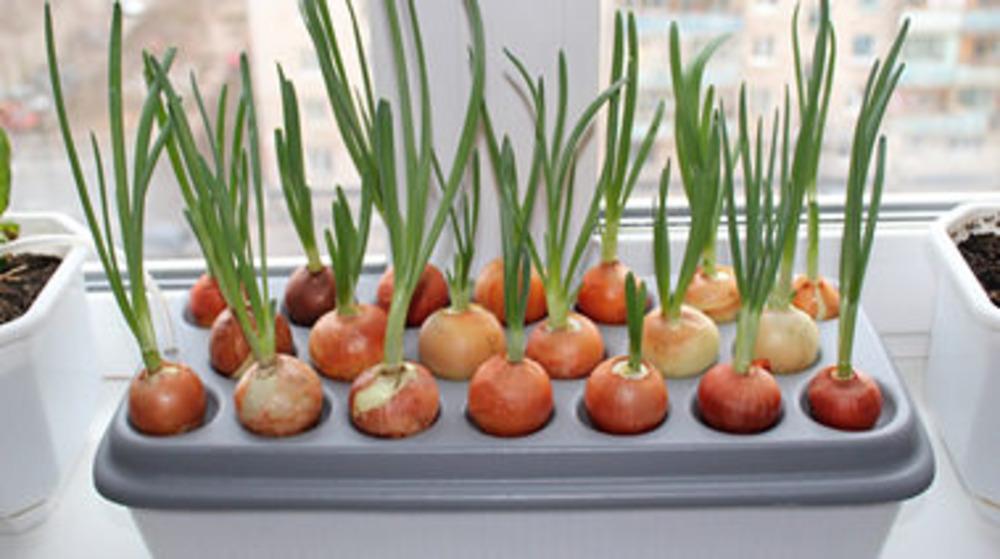 Выращивание лука в домашних условиях 303