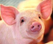 Товары для свиноводства